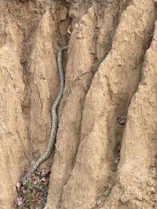 King cobra in himachal Pradesh